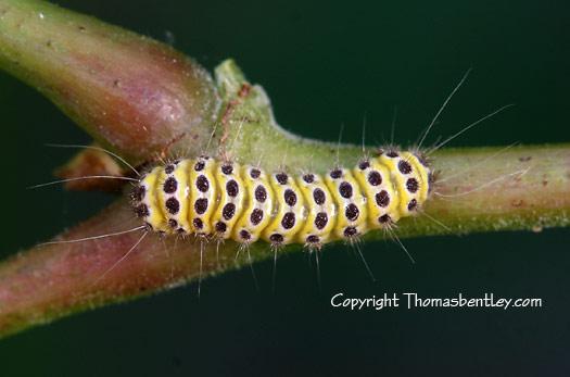 Caterpillar - Harrisina americana