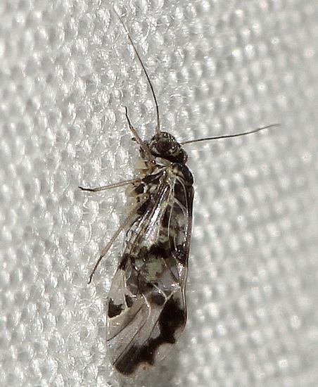 121111 .3 - Ptycta polluta - female