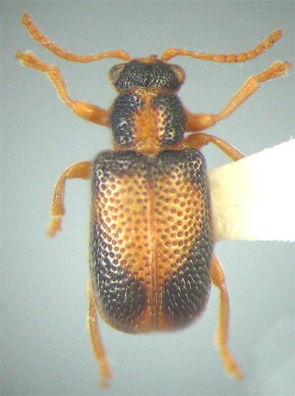 Zeugophora varians Crotch - Zeugophora varians