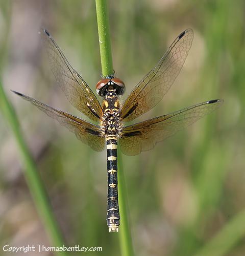 Female Elfin Skimmer - Nannothemis bella - female