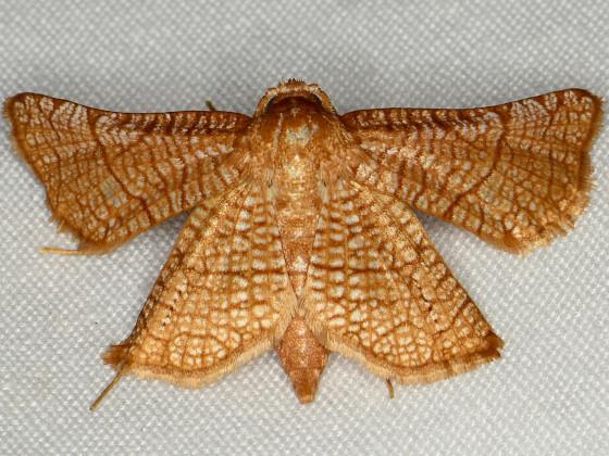 Seagrape Borer Moth - Hexeris enhydris