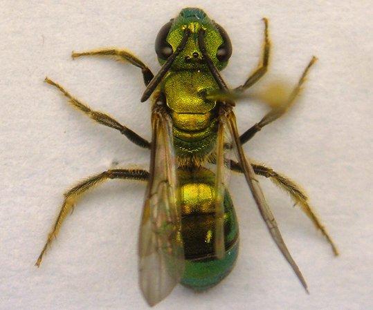 Halictid bee - Augochlora pura