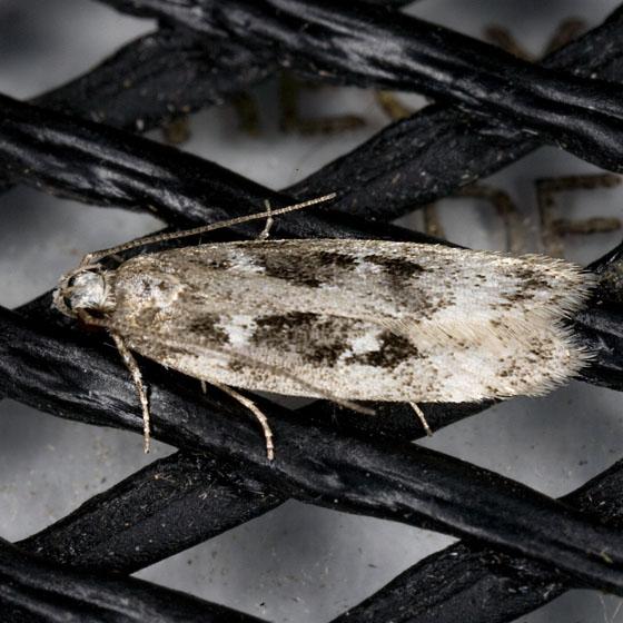 Gelechiidae  ZH3Z2906 - Chionodes sattleri