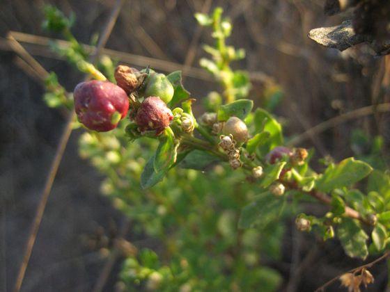 Oddly colored Rhopalomyia californica galls? - Rhopalomyia californica