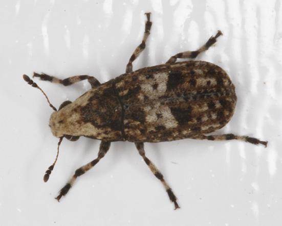 Euparius paganus? - Euparius marmoreus