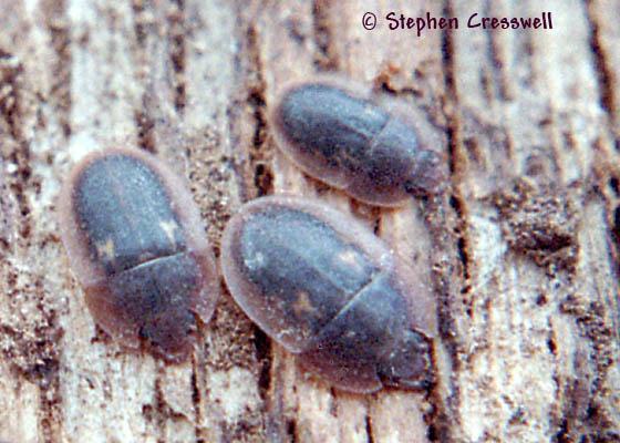 Weird Sap Beetles - Prometopia sexmaculata