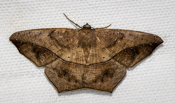 Large Maple Spanworm - Prochoerodes lineola - female