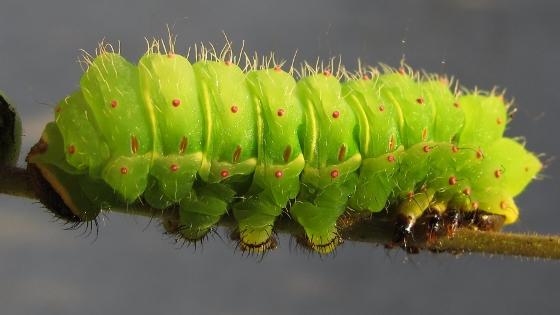 caterpillar - September 1 - Actias luna