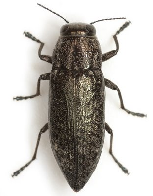Spectralia robusta (Chamberlain) - Spectralia robusta