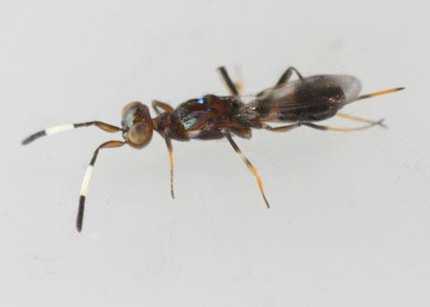 Parasitoid? with white-banded antennae - Reikosiella - female