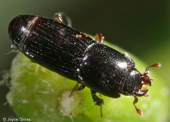 beetle - Platysoma gracile