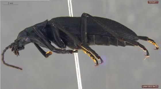 Ditylus gracilis