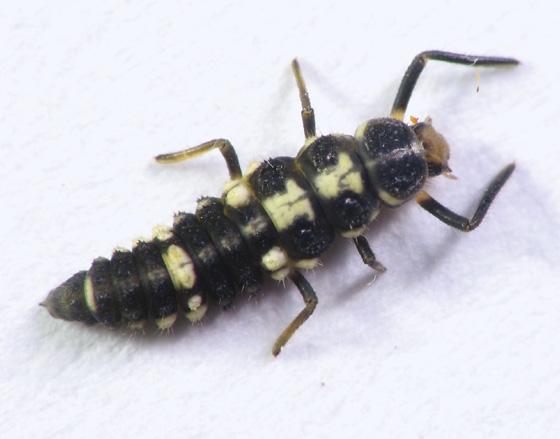 Another larva - Propylea quatuordecimpunctata