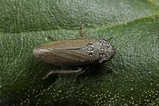 Cicadellidae, Cuerna occidentalis - Cuerna occidentalis