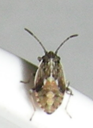 Which Small Bug nymph? - Nysius