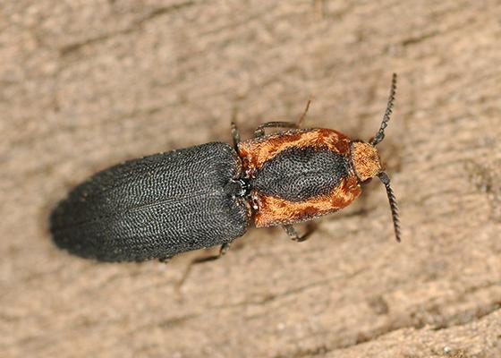 Click Beetle - Lacon discoideus