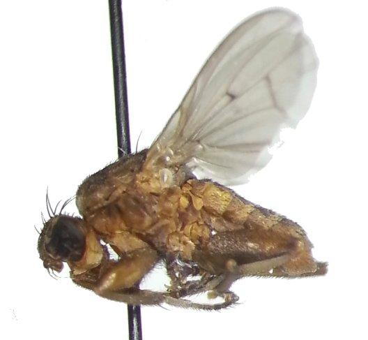 Pherbellia seticoxa - male