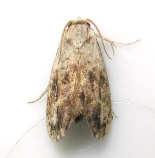 Tiny moth - Acrolophus mycetophagus