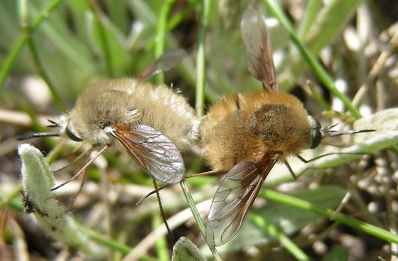 Bombyliid Pair - Bombylius - male - female
