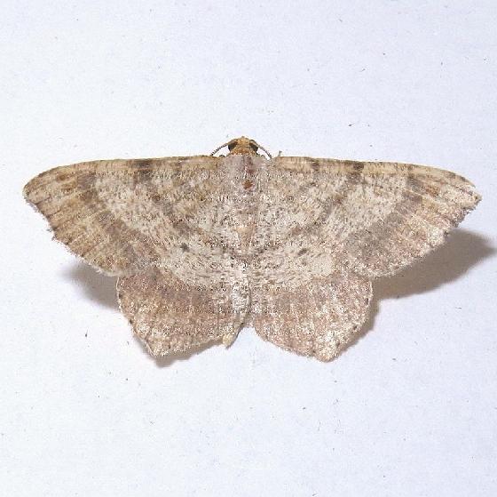 Hodges #6342 - Macaria bisignata - Macaria