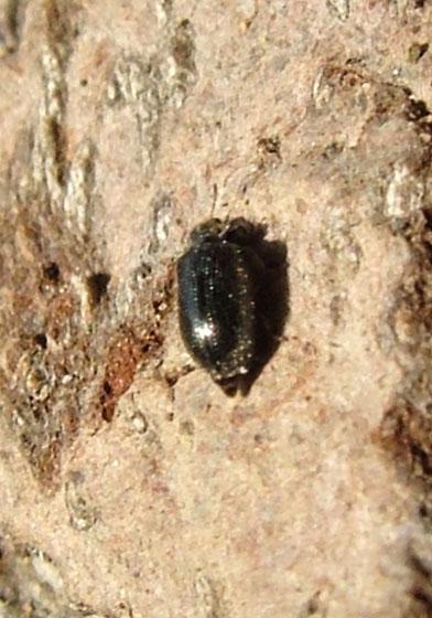 Tiny Black Beetle - Laricobius nigrinus