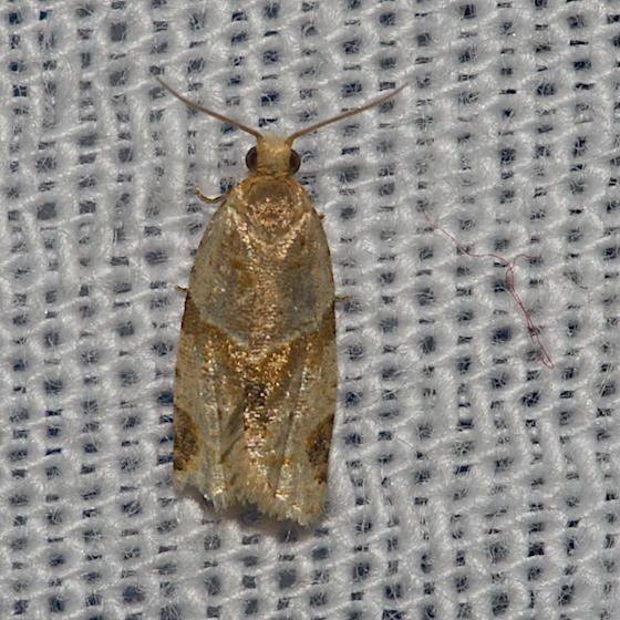 Garden Tortrix - Hodges#3688 - Clepsis peritana