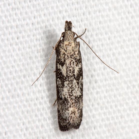 moth - Dichomeris inversella