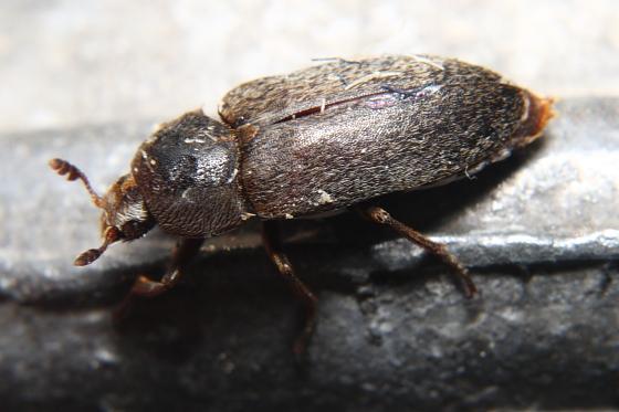 Small Beetle - Dermestes maculatus