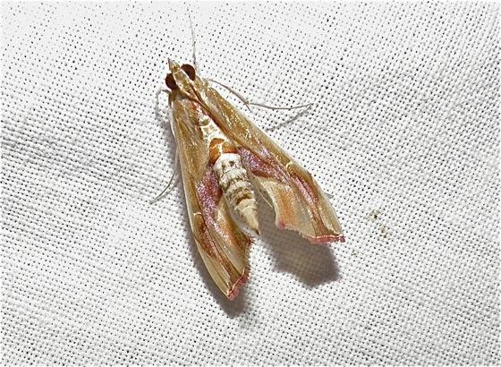 Moth - Agathodes monstralis