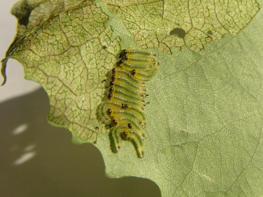 sawfly larvae - Trichiocampus grandis