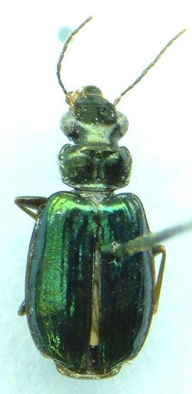 Carabid - Coptodera aerata