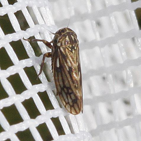 Ceratagallia species? - Ceratagallia