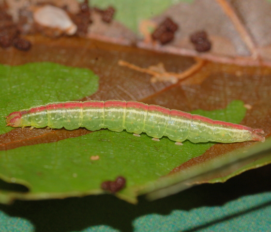 Pink-striped buttonbush caterpillar - Ledaea perditalis