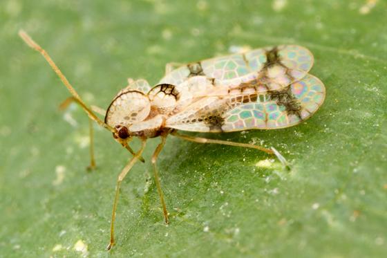 leafhopper - Stephanitis pyrioides