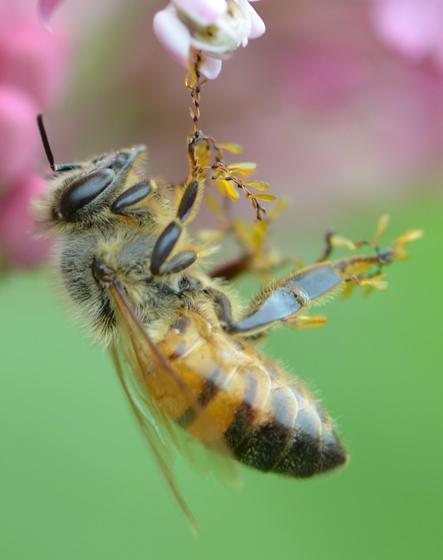 bee with pollinia - Apis mellifera