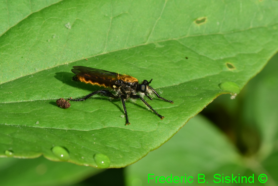 Robberfly species? - Laphria