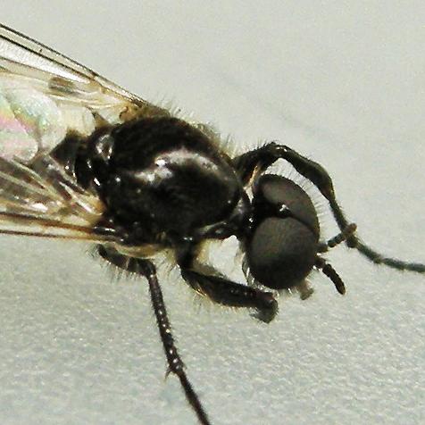 march fly - Bibio albipennis - male