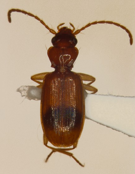 Carabidae - Blemus discus