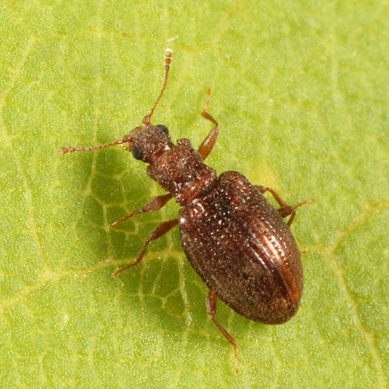 Minute Brown Scavenger Beetle - Stephostethus liratus