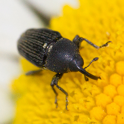 Flower Weevil - Odontocorynus