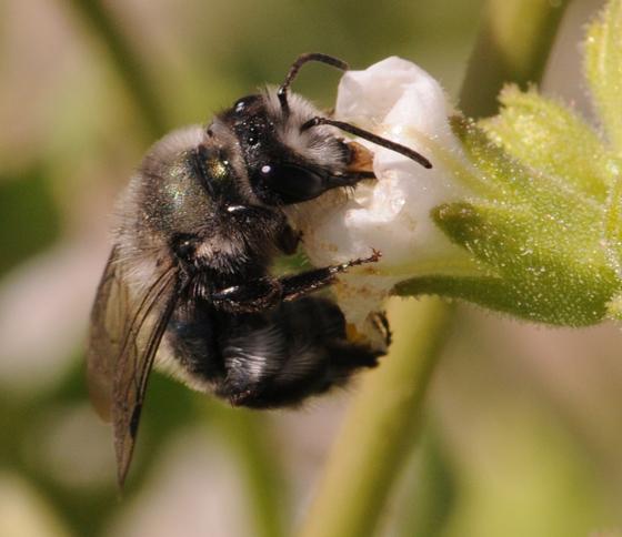 Andrena  - Andrena - female