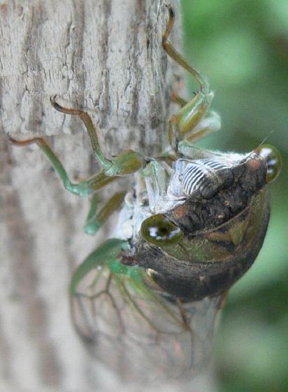 Swamp Cicada - Neotibicen tibicen - female