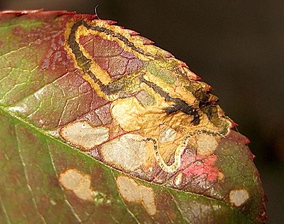 Leaf damage on rose - Stigmella