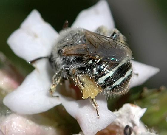Calliopsis sp. (?) - Calliopsis fracta - female
