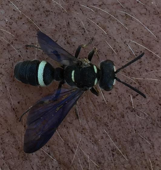 Euodyneras megaera? - Cerceris fumipennis