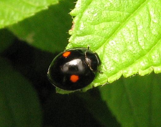 Little lady beetle - Hyperaspis