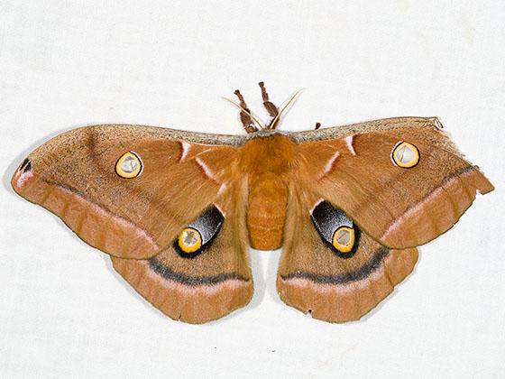 Polyphemus Moth - Antheraea polyphemus