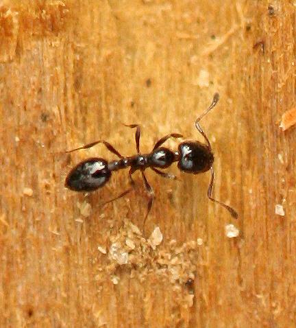 Ant - Monomorium minimum
