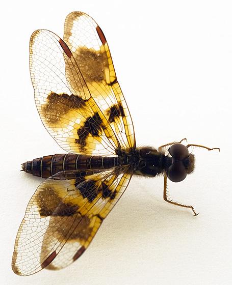 Help ID - Perithemis tenera