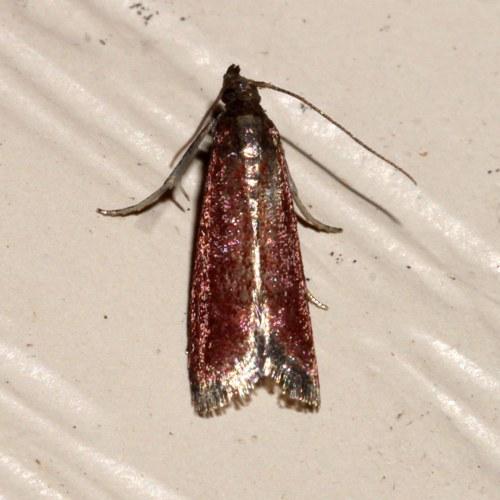 Moth - Varneria postremella